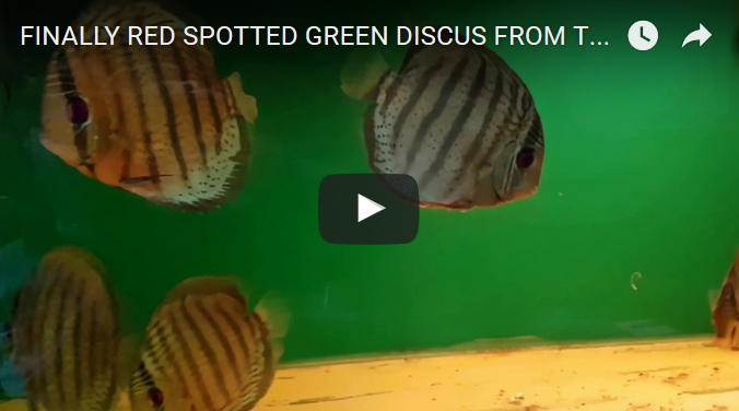 Red spotted green discus in store!